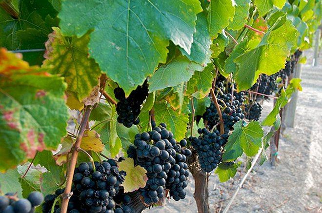 Viiniriypäleet